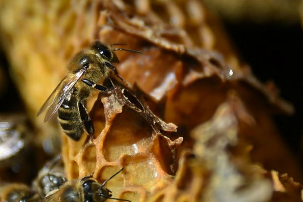 bees-AFP - insects