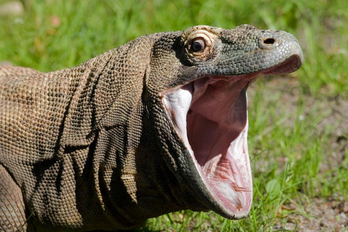 It Might Cost You Us 500 To See A Komodo Dragon Unreserved Intelligence Is Sexy