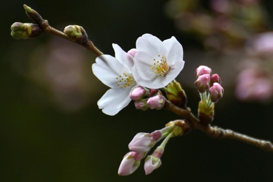 All Things Cherry Blossom Are Blooming This Season