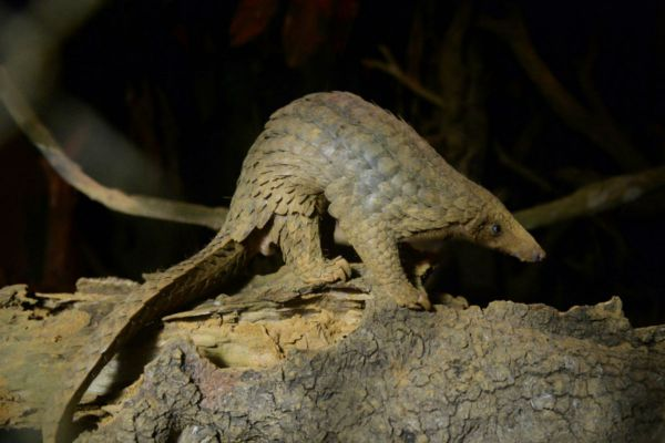 Scaled Up: Malaysian Authorities Seize A RecordNumber of Pangolins