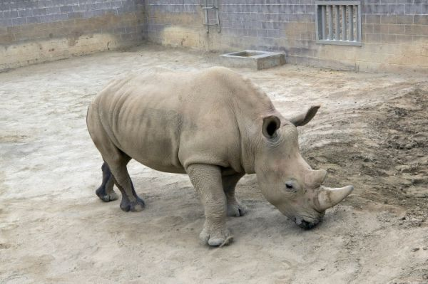 Southern White Rhino's Birth Could Help Save Species