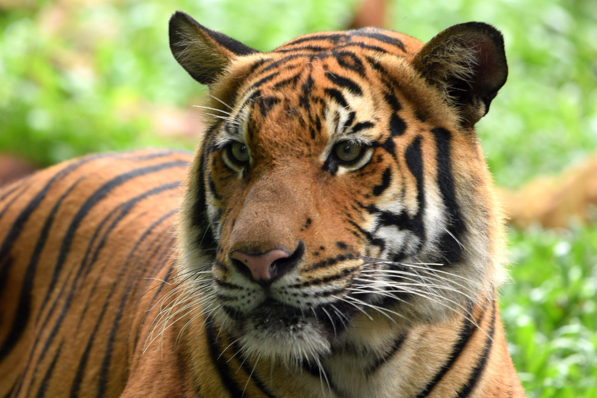 The Last Days of the Malayan Tiger