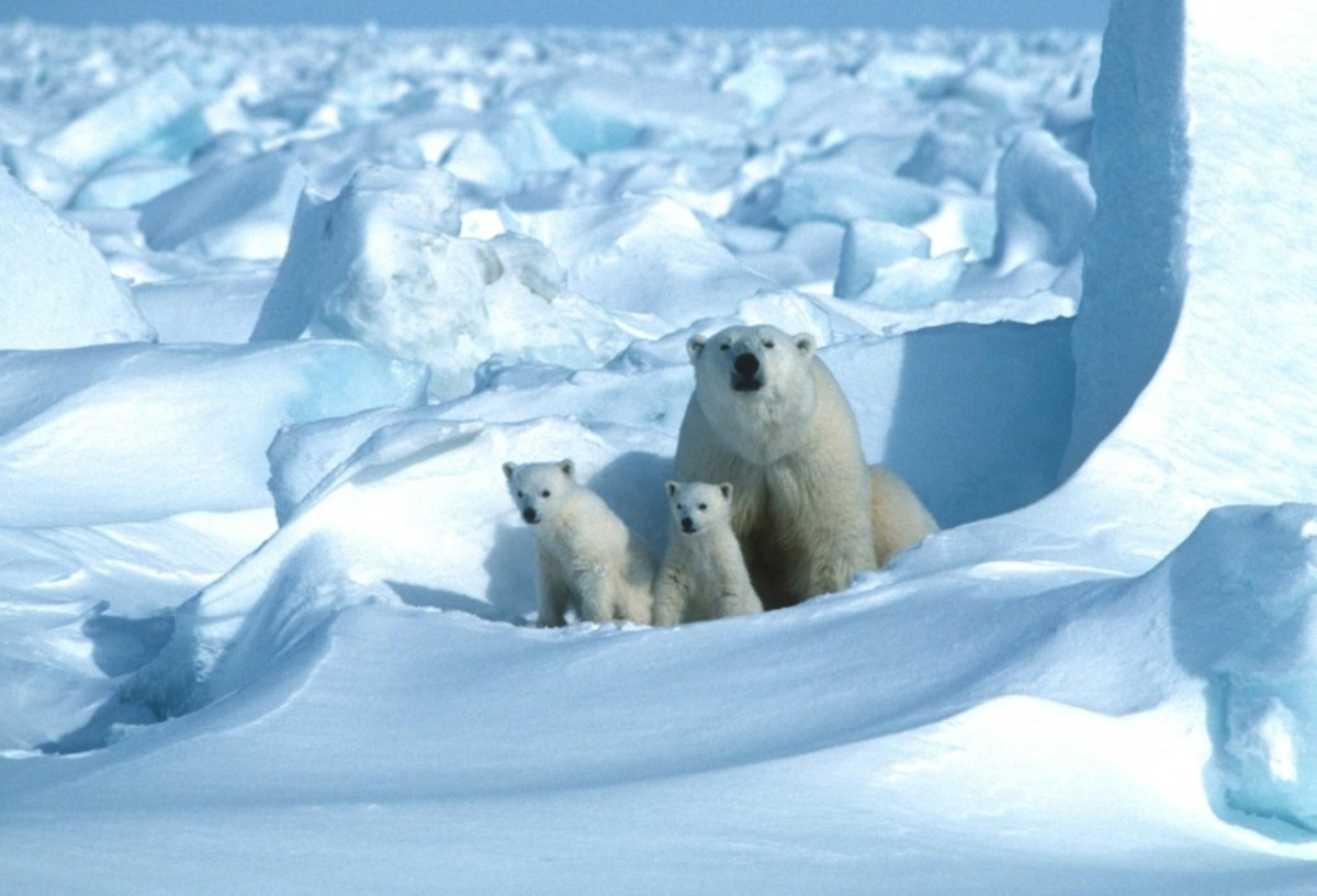 Researchers Predict Polar Bears Will Be Extinct By 2100